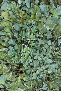 Merveille du Jour moth (Dichonia aprilina) on lichen
