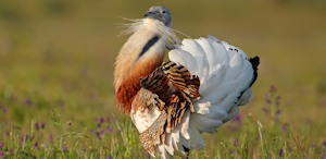 Event - Great Bustard
